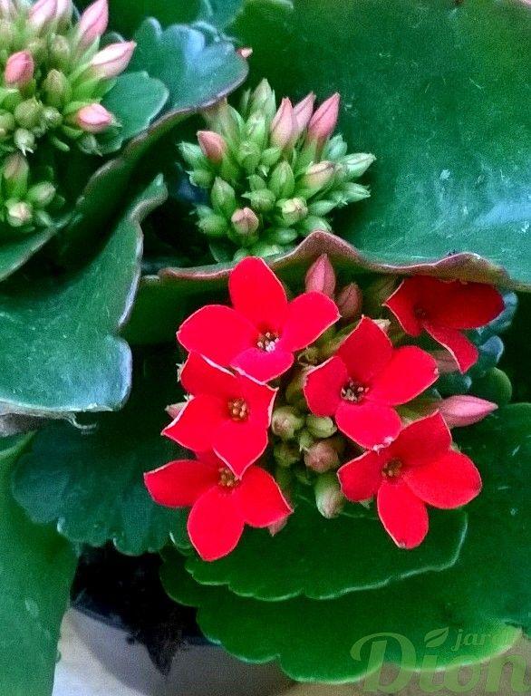 Kalanchoe Blossfeldiana Plante Grasse Fleurs Rouges Plantes D