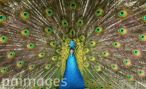 An Indian Blue Peacock shows off its plumage.