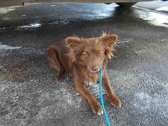 CHLOE (A1663763) I am a female brown and white Chihuahua