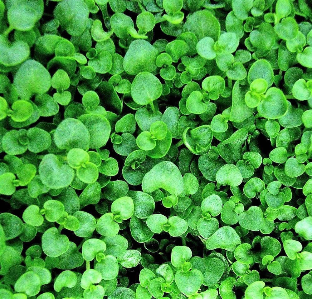 Details About 20 Corsican Mint Mentha Requienii Herb Fragrant Ground Cover Flower Seeds Gift Ground Cover Corsican Mint Seeds Gifts