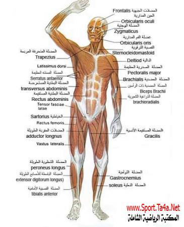 أسماء عضلات جسم الانسان المكتبة الرياضية الشاملة Health Science Muscle Human