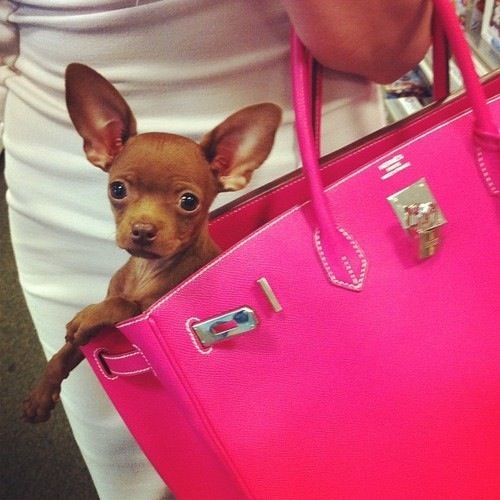 Cute Dog In Pink Bag Chihuahua
