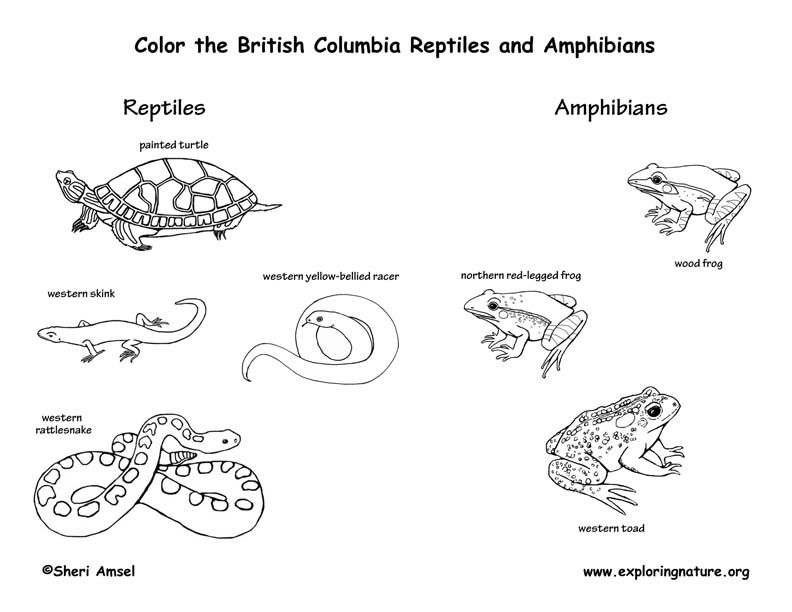 Five-lined Skink Coloring Page | 612x792