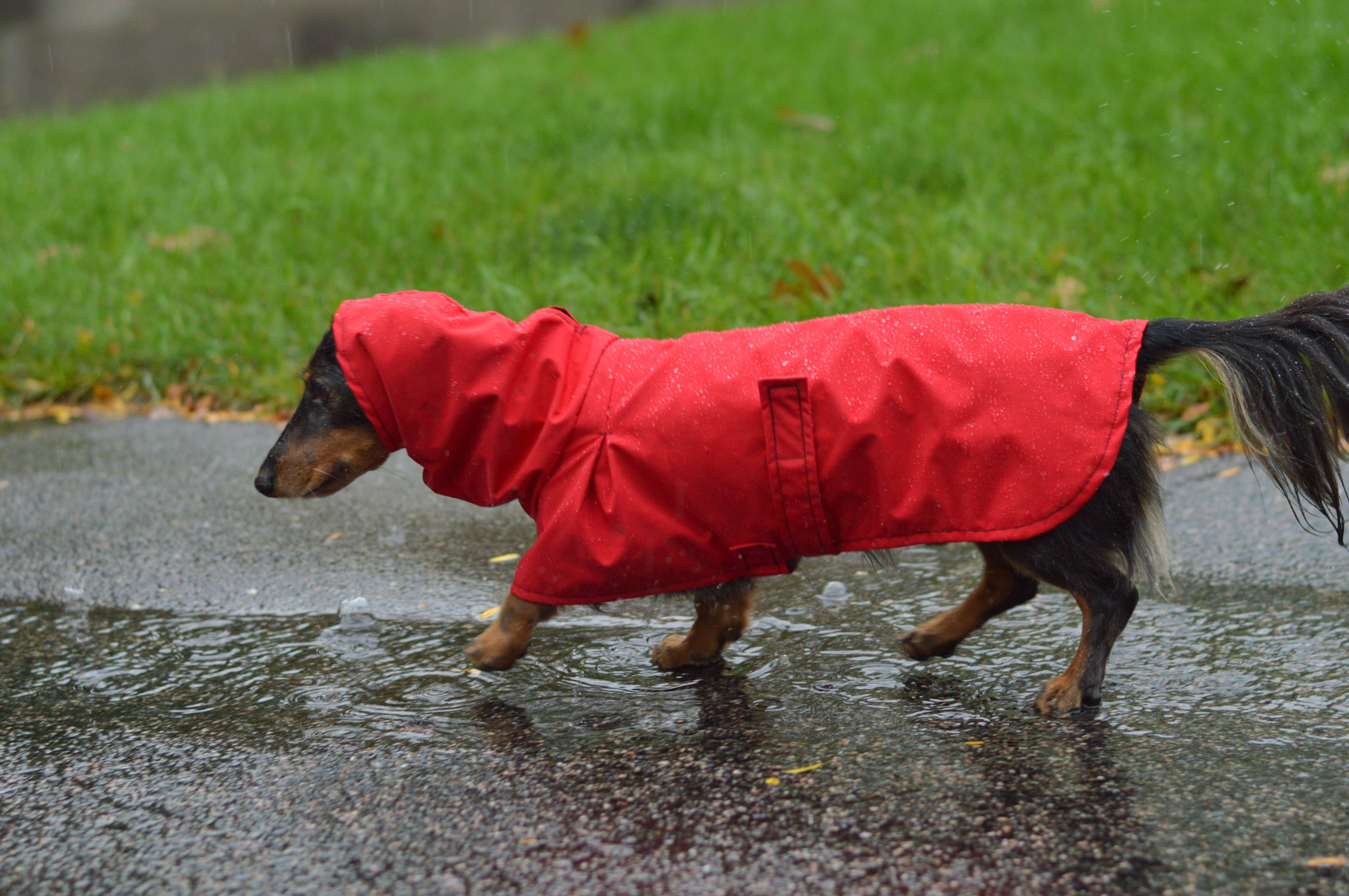 Titan The Dachshund Loves Wearing His Red Rain Coat During Autumn