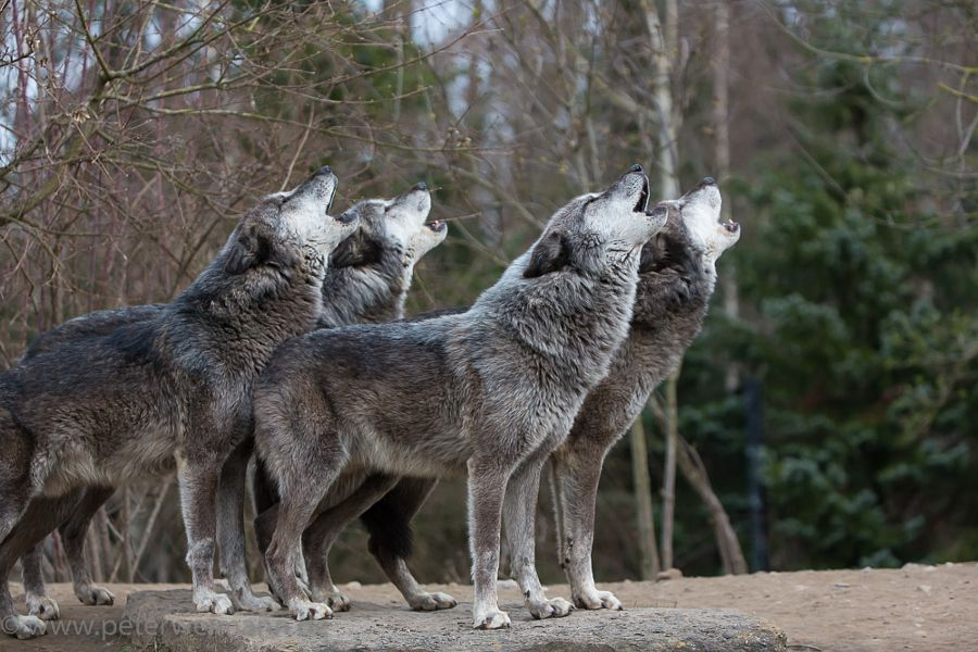 3fluffies Mrbiggsproductions Nogfhaver Her Wolf Howling Timberwolves By Peter Weimann Aww Let Them Sing Yo Wolf Howling Wild Dogs Animals Wild