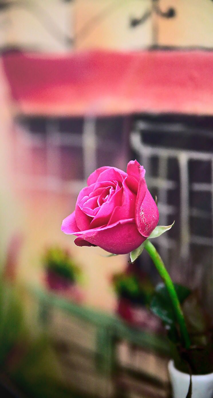 Flowers Wallpaper Background Iphone Pink Rose Fond Dcran