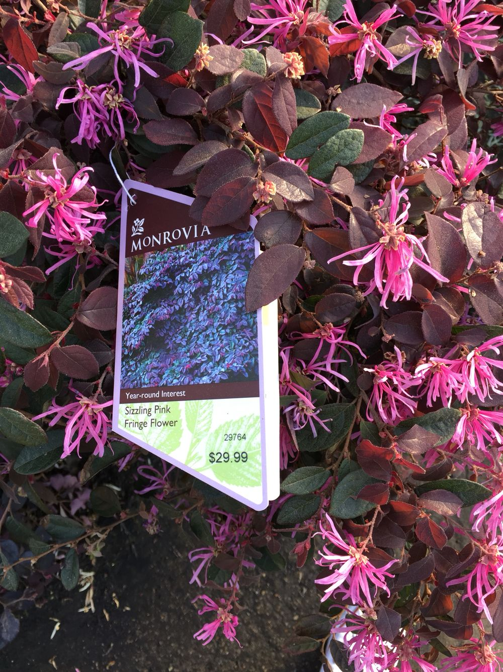 Sizzling Pink Fringe Flower 591 Landscape Pinterest Pink