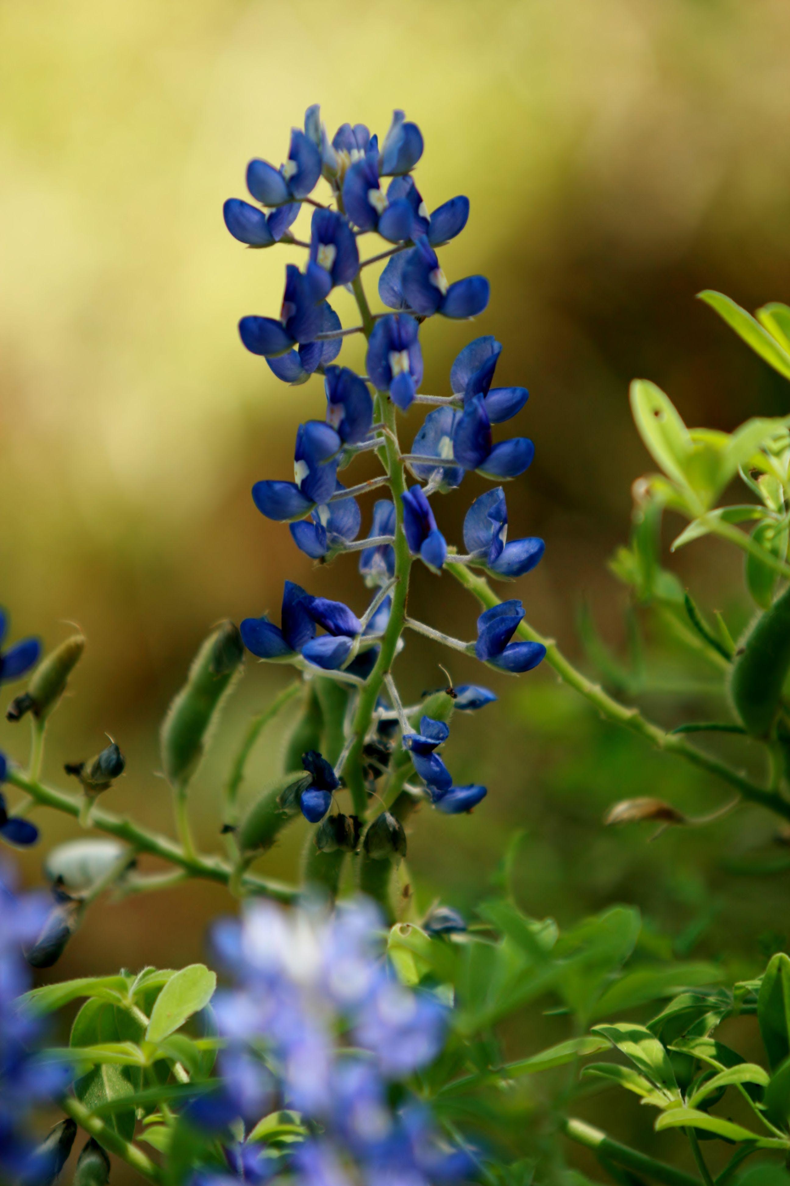 Texas Bluebonnet | Texas !!! | Pinterest
