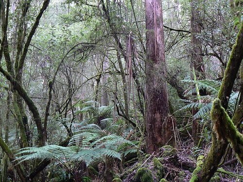 Along the track to Russell Falls, Mount Field National Park, near New Norfolk, Tasmania Australia by adrienne_bartl, via Flickr