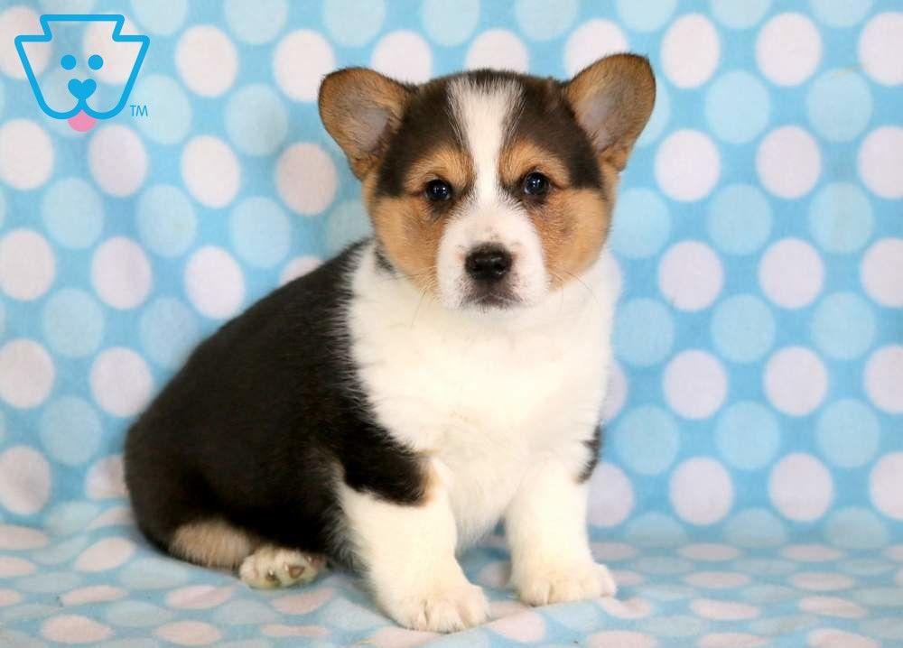 Zander Pembroke Welsh Corgi Puppy For Sale Keystone Puppies