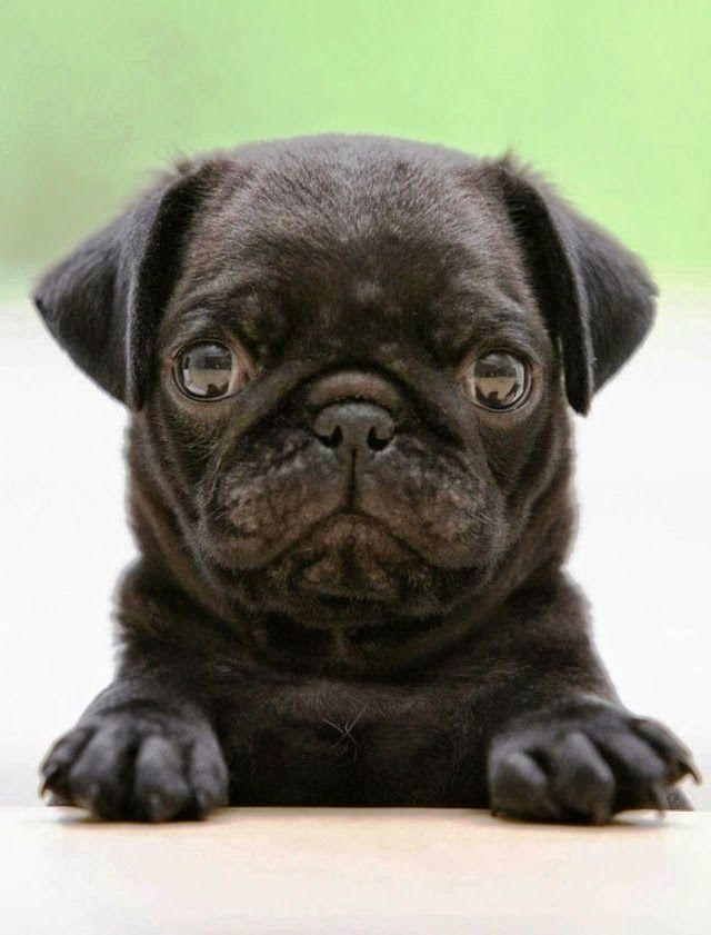 5 Pug Facts That Will Blow Your Mind Pug Puppies Black Pug