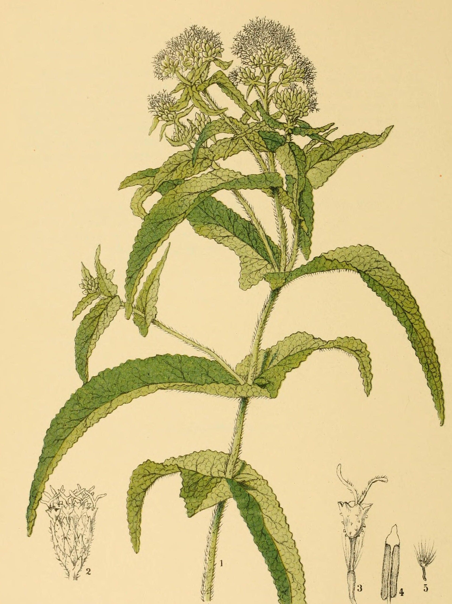 Boneset Wildflower Drawing Wild Flowers Botany
