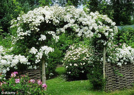 Coming Up Roses Bring That Boring Pergola To Life By Training Mes Of Climbing Over It Then Letting Them Run Riot
