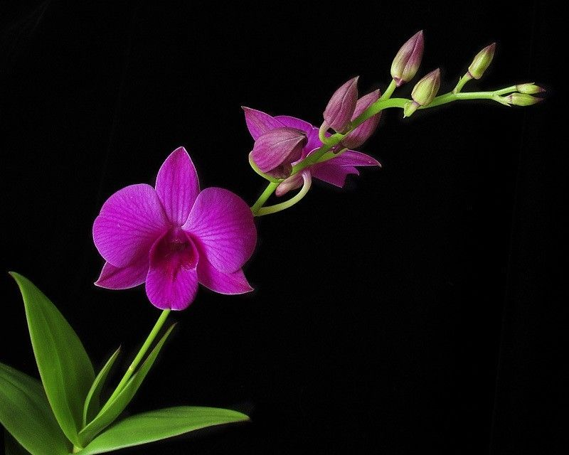 orchids wallpapers best - photo #40