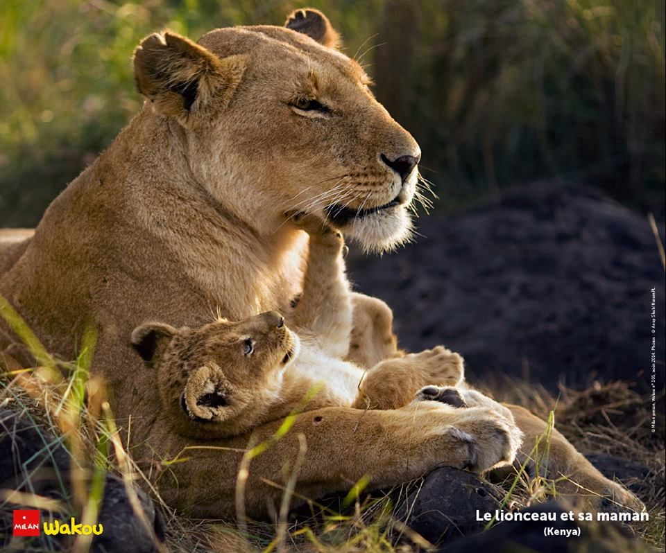 maman et b b lions instinct maternel pinterest lion. Black Bedroom Furniture Sets. Home Design Ideas