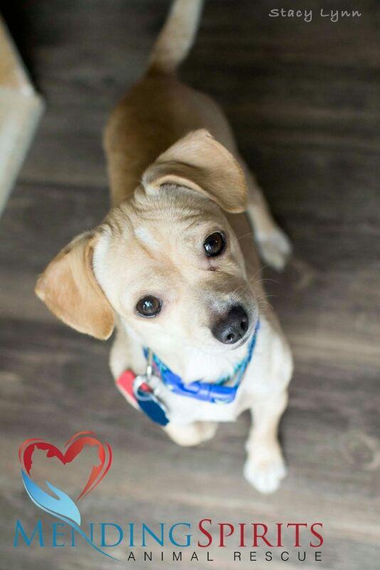 Chiweenie Dog For Adoption In Mankato Mn Adn 592686 On Puppyfinder Com Gender Male Age Young Chiweenie Dogs Dogs Adoption