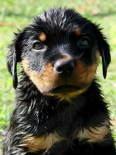 Wet Rottweiler Puppy Rottweiler Puppies Dog Breeds Rottweiler Dog