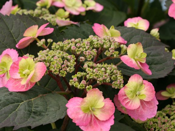 Tuff Stuff Hydrangea - I want to plant one of these this spring.