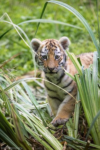 Pin By Chasity Damiano On Tigers With Images Animals Beautiful