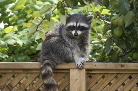 How to get rid of raccoons possums and skunks in your - How to get rid of possums in the garden ...