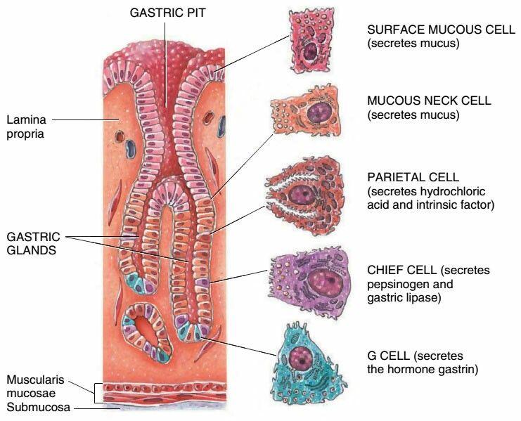 Pin By Celeste Marcotte On School Biology Stomach