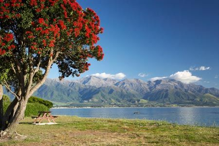 Pohutukawa Tree. Known As The New Zealand Christmas Tree As It Comes Into  Full Bloom