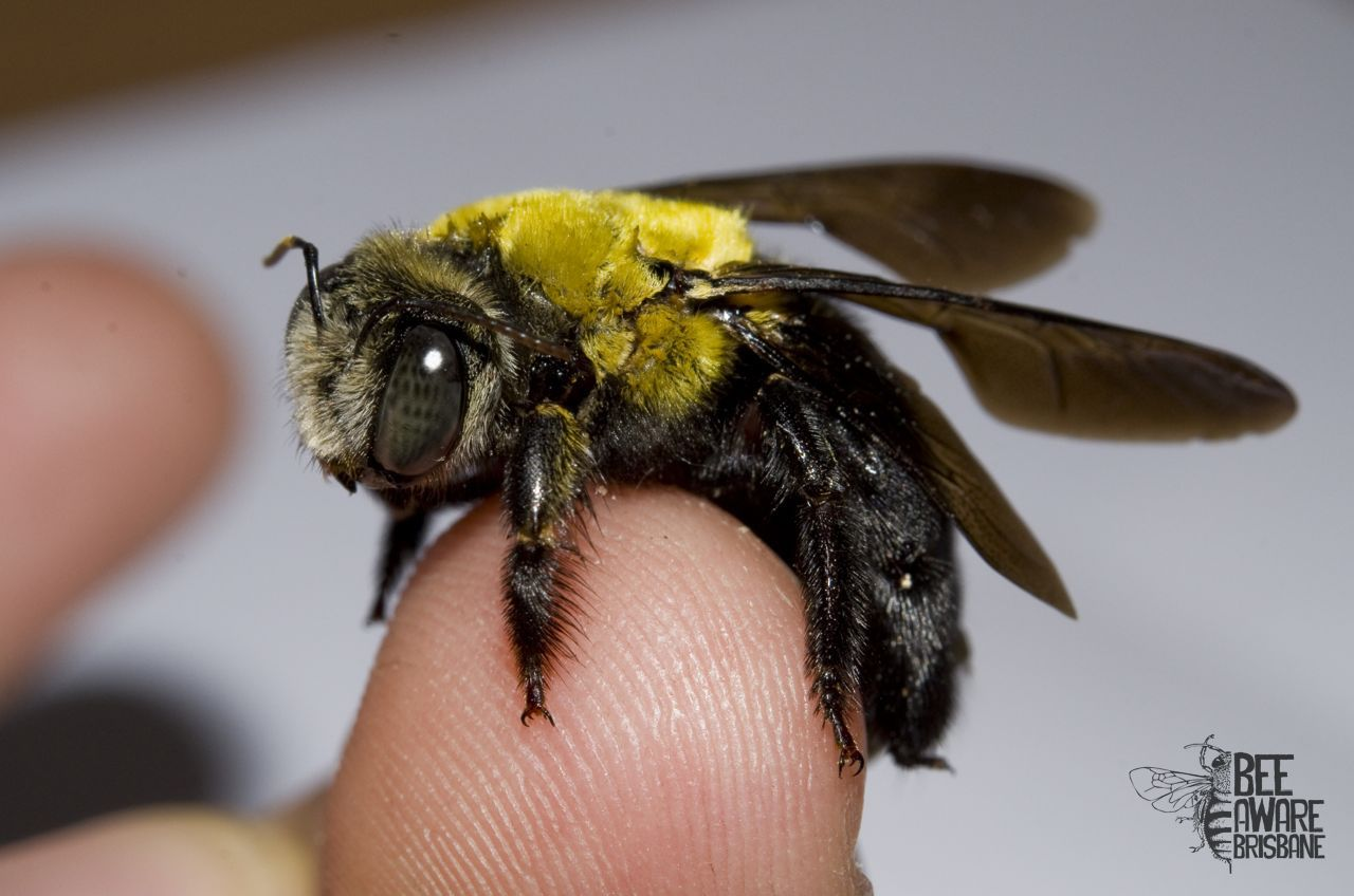 A Great Carpenter Bee Xylocopa Koptortosoma Lieftincki These