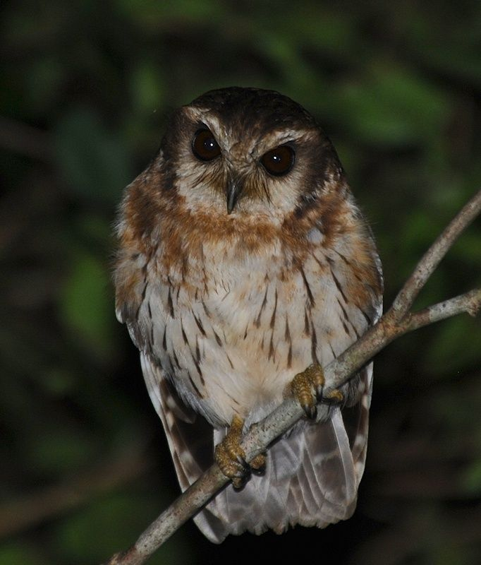 Bare-legged Owl (Gymnoglaux lawrencii). Photo by Alan Van Norman.