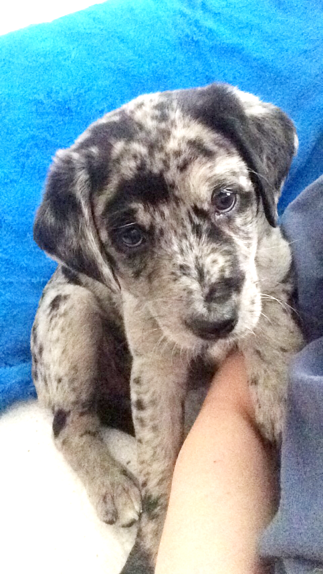 My Little Lola Bear Aussiedor Dog Lovers Puppies And Kitties Catahoula Leopard Dog