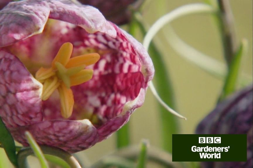 to plant snake's head fritillaries Monty Don shows how to plant snake's head fritillaries 'in the green', including tips on the conditions they enjoy, in this video guide on .Monty Don shows how to plant snake's head fritillaries 'in the green', including tips on the conditions they enjoy, in this video guide on .