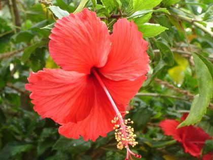 Surprising Health Benefits Of Hibiscus Tea Dried Hibiscus