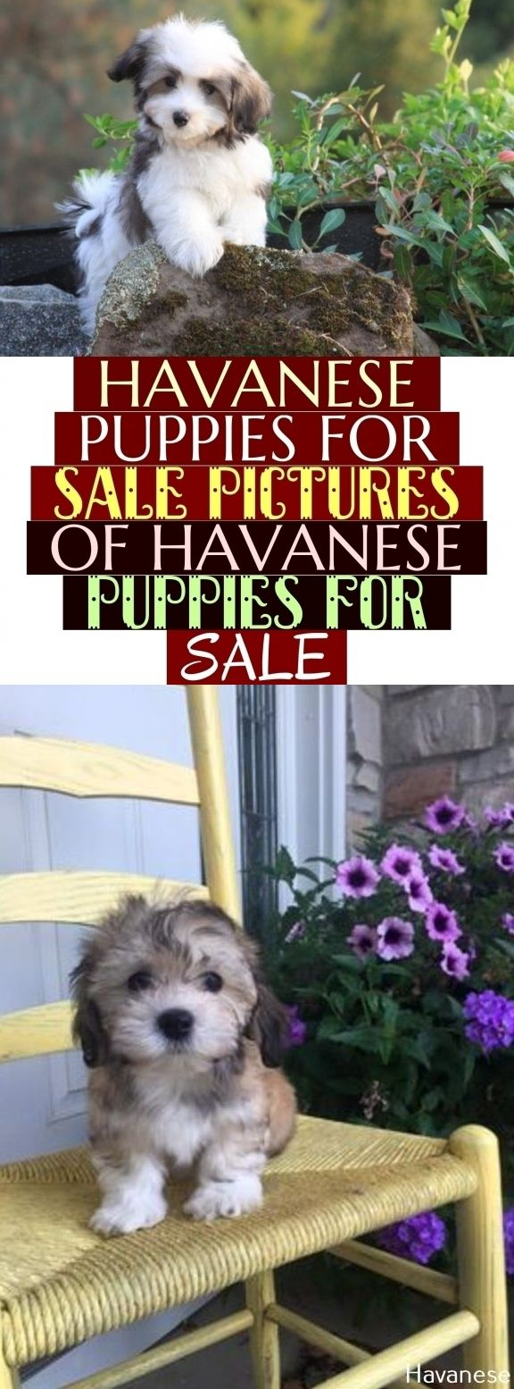 Havanese Puppies For Sale Pictures Of Havanese Puppies For