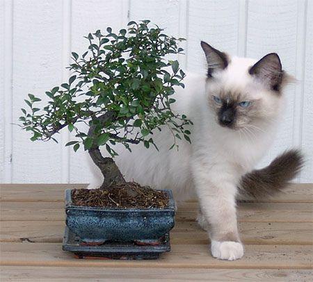 Manu (the kitten) and Zelkova Zelkova bonsai, Potted