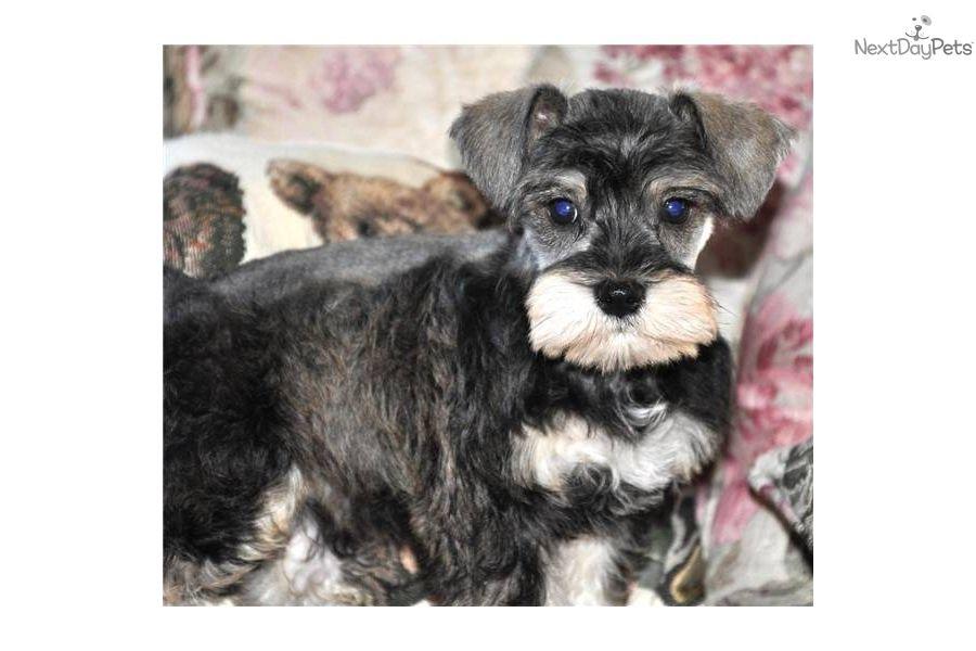 Meet Chuckles A Cute Schnauzer Miniature Puppy For Sale For 500