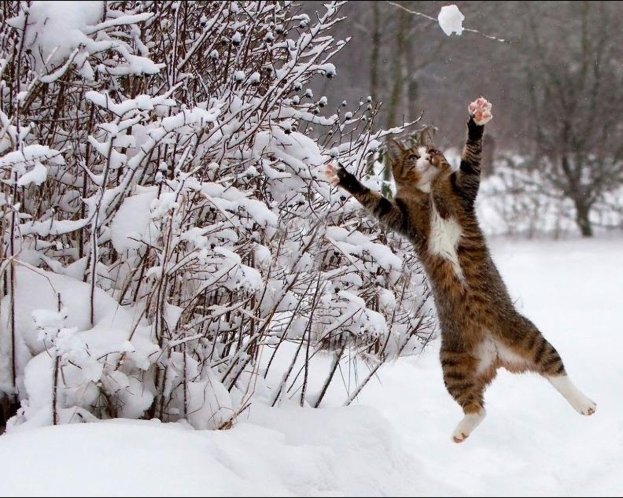 Animals In The Snow Wallpaper 1280x1024 3601 Winter Cat Cats Snow Pictures