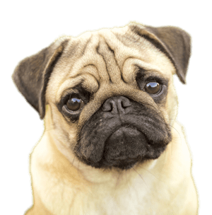 All Png Cliparts Images On Nicepng Are Best Quality Browse Our Categories Below To Find Clipart With No Background Or Curated C Pug Dog Cute Pugs Therapy Dogs