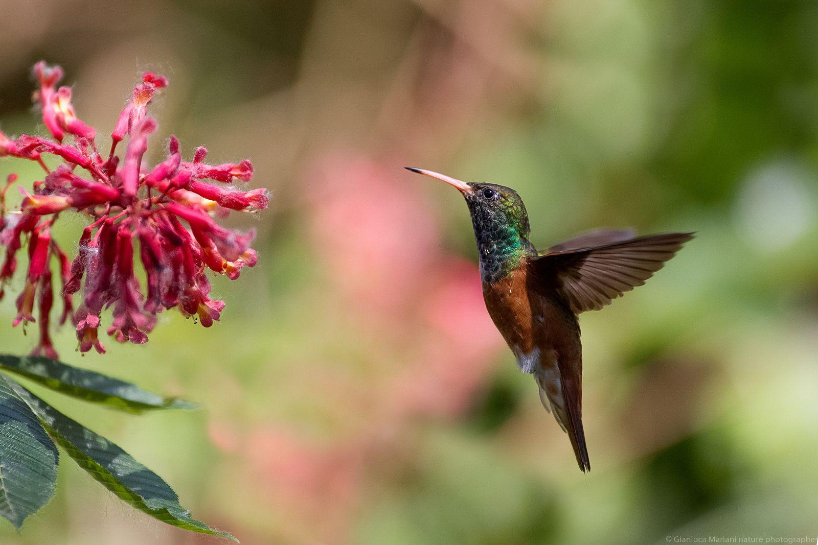 hummingbird by Gianluca Mariani Nature Photographer natura 2.8 on 500px