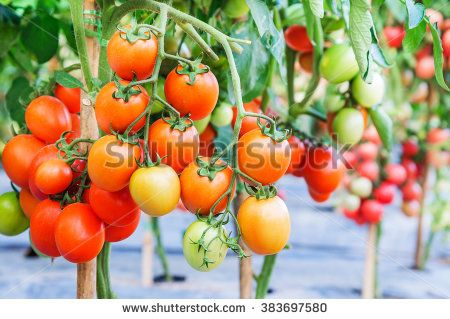 Fresh ripe tomatoes growing on a branch in garden, Shallow depth of field. Selective focus.