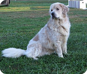 1 5 17 Unionville Pa Great Pyrenees Clumber Spaniel Mix Meet