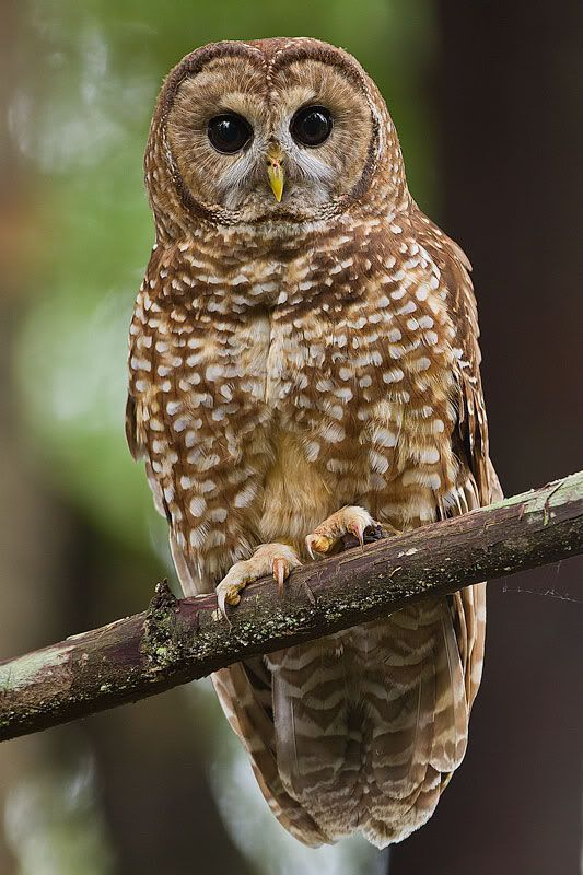 The true owls or typical owls are one of the two generally ...