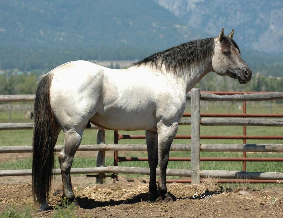 Showgirl Glitz : Photo | Horses, Horse breeds, American