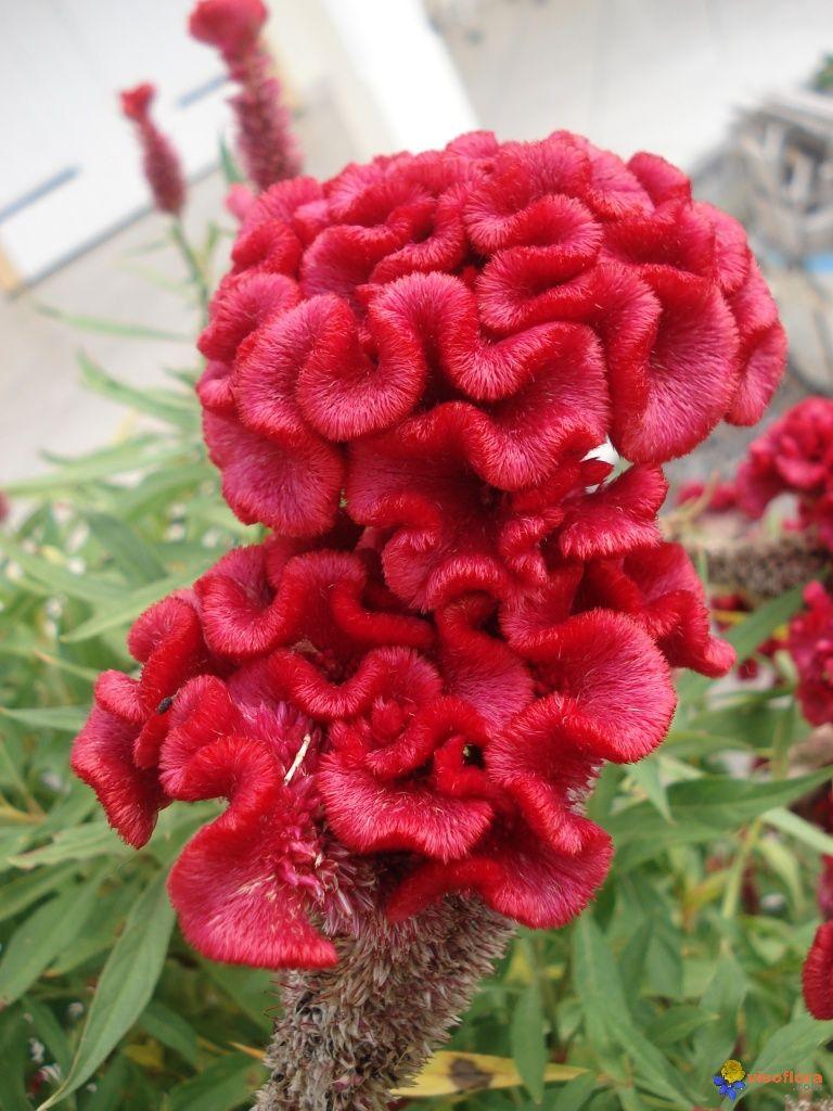 Celosia Cristata Crete De Coq Fleurs Etranges Jolie Fleur Planter Des Arbres