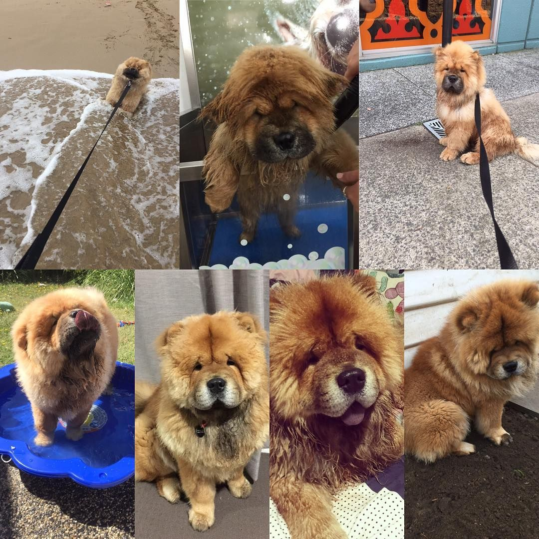 Funny Wesley Wesleychow Chowchow Chowssss Cho Adorable Chowchow