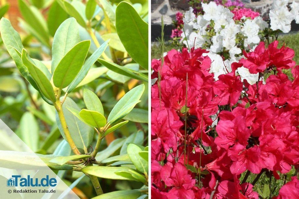 rhododendron-pflege nach der blüte – alte knospen entfernen, Terrassen ideen