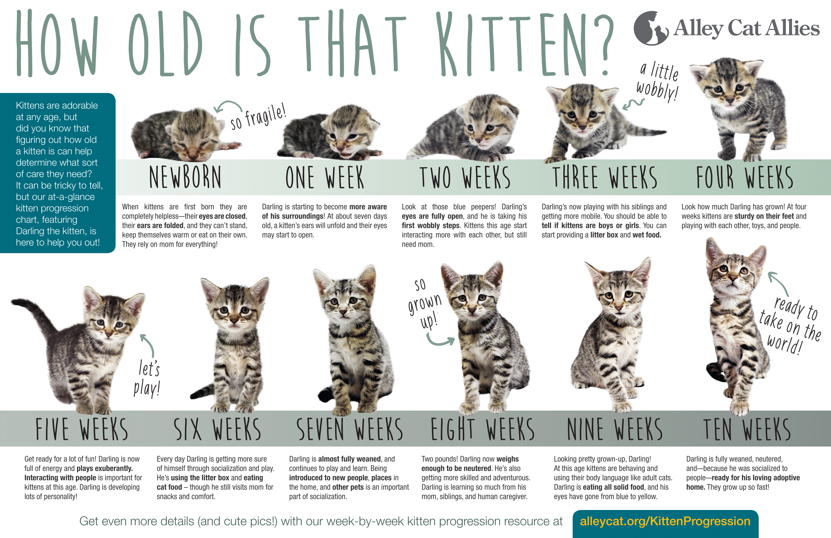 Kitten Growth Timeline Check More At Http Best Wow Guide Info Kitten Growth Timeline Html Kitten Season Alley Cat Allies Kittens