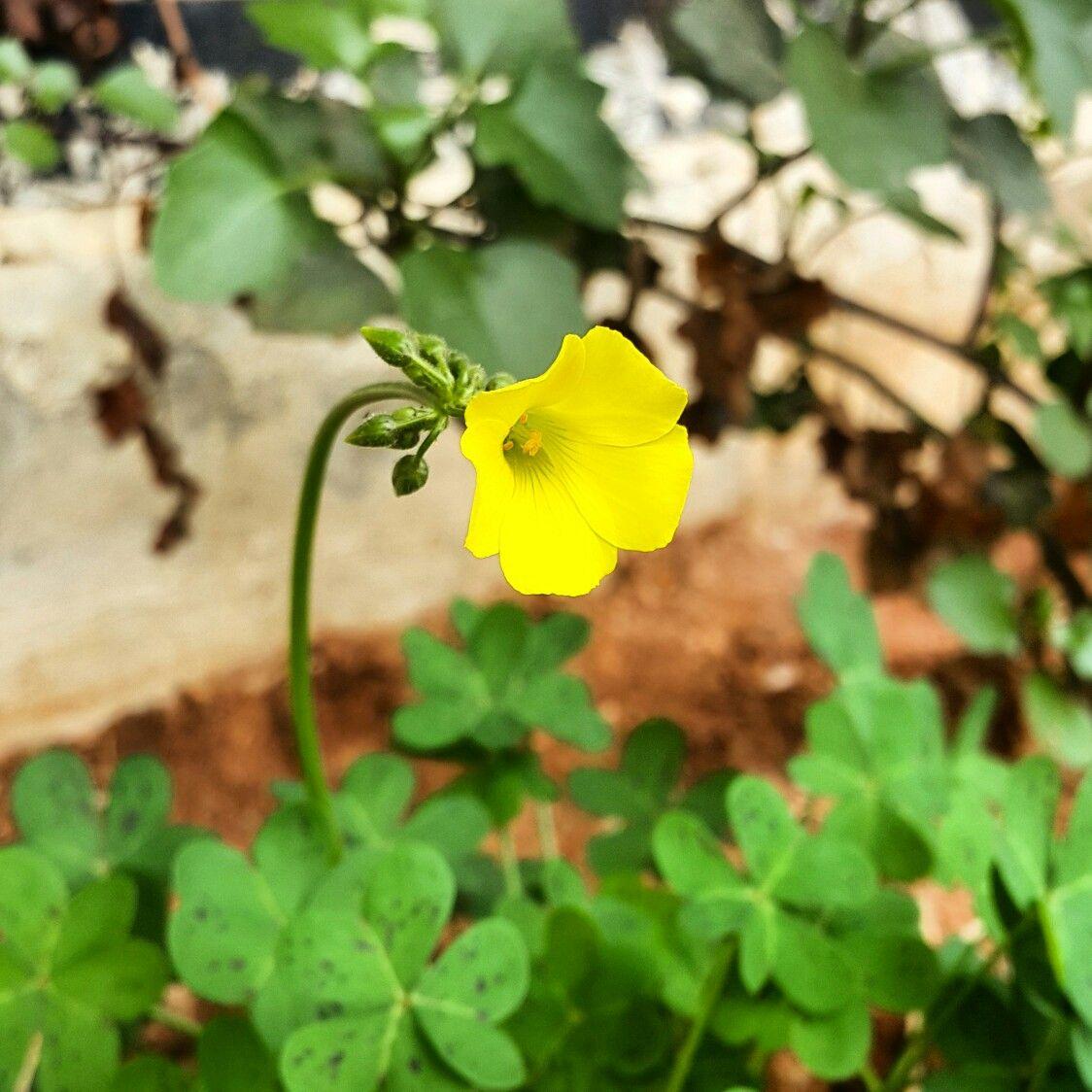 A Yellow Clover Flower Spring 2017 Photographs Pinterest