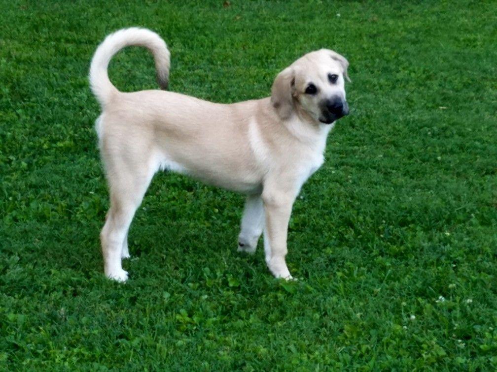 Atlas 4 Months Old Anatolian Lab Mix Dog Projects Anatolian