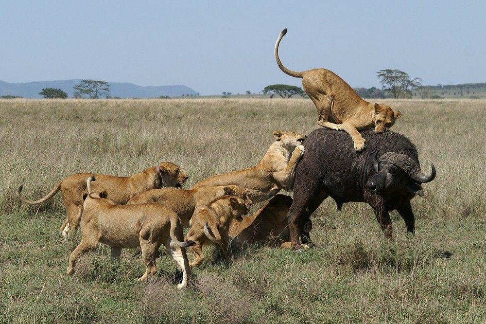 chasse des lions 3 de jaseur animaux sauvages felins pinterest plus d 39 id es chasse de. Black Bedroom Furniture Sets. Home Design Ideas