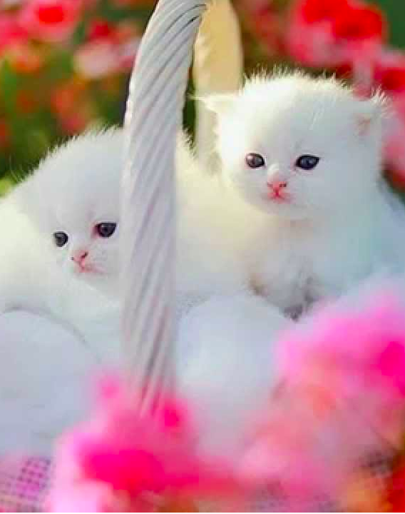 Persian Cuties Photo Mylaphotography On Dreamstime Kittens Cutest Cute Cats And Kittens Kitten Wallpaper
