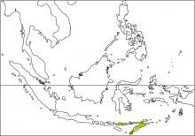Timor Leaf-warbler (Phylloscopus presbytes)